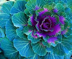ornamental cabbage cabbages cabbage and photos