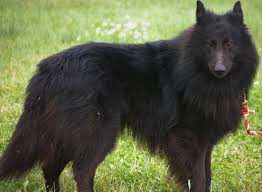 belgian sheepdog groenendael breeder about belgian sheepdogs