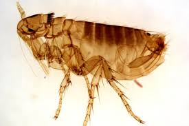 Bed Bugs On Cats Bed Bugs Vs Fleas Difference And Comparison Diffen