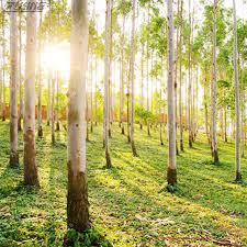 aliexpress buy zlking 100pcs australia eucalyptus seeds