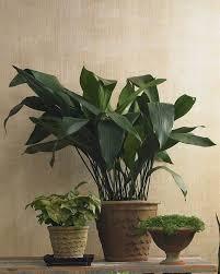 Low Light Indoor Trees 41 Best Houseplants Images On Pinterest Houseplants Indoor