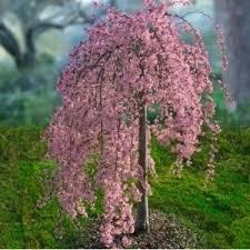 best 25 cherry tree ideas on weeping cherry