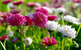 hd images of flowers flower hd background 0057