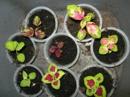 How To Grow Coleus Plants by Coleus U2013 Minding My P U0027s With Q