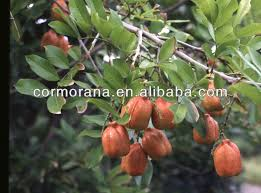 Ackee Fruit Tree - ackee ackee suppliers and manufacturers at alibaba com