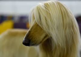 afghan hound agility scenes from the 2017 westminster dog show the atlantic