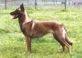 belgian sheepdog varieties belgian shepherd