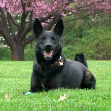 belgian shepherd exercise requirements dutch shepherd breed guide learn about the dutch shepherd
