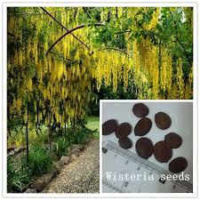 aliexpress buy large climbing vine winding yellow wisteria