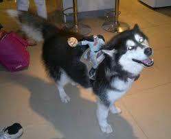 Husky Dog Halloween Costumes Cutest Pet Halloween Costumes Petropolis Pet Resort