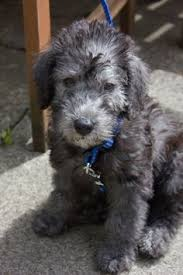 feeding a bedlington terrier google image result for http ashcrofterriers com images