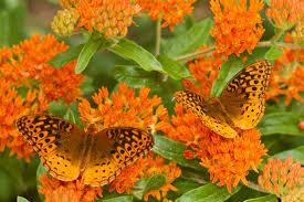 butterfly friendly milkweed plants