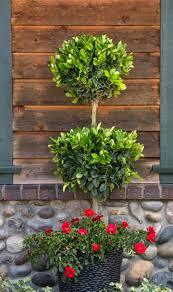 What Is A Topiary Tree Waxleaf Privet Monrovia Waxleaf Privet