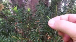 toxic yew tree identification poisonous trees and shrubs
