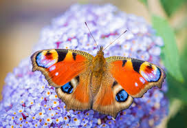 colourful butterfly stock photo image of beautiful orange 43520836