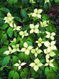 plants native to china dogwood tree facts hgtv