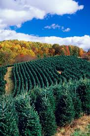 christmas christmas tree farms near me farm in north carolina