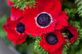 anemone flowers anemone flowers of photograph by rainbow