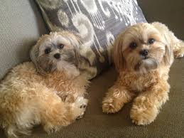 pictures of shorkie dogs with long hair full grown shorkie glad that ivy and madison enjoy taking naps