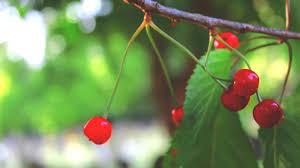 Cherry Tree Fruit - how to identify wild cherry trees youtube