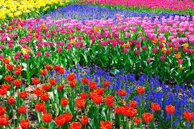 blossoms 6 splendid spring flower festivals