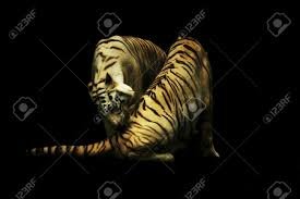 yin yang tigers stock photo picture and royalty free image image