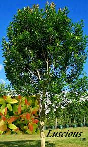 bangalow tree tales compact trees for landscapes