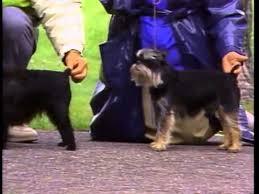 affenpinscher westminster 2015 affenpinscher akc dog breed series youtube