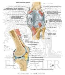 Right Knee Anatomy Knee Posterior And Sagittal Views Knee Posterior And Sagittal