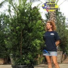 japanese yew pine hedge trees