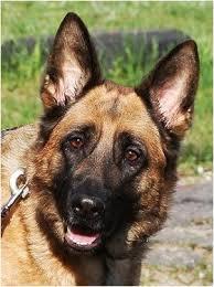 boxer dog kills man guard dogs
