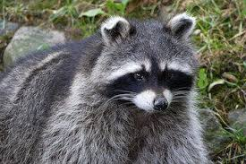 raccoon removal los angeles ca pest removal nj