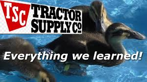 Dog Houses At Tractor Supply How To Raise Ducks From Tractor Supply What To Expect Youtube