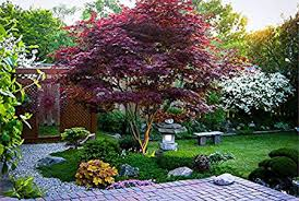 emperor japanese maple tree for sale fast growing trees com