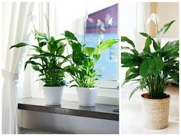 Indore Plants Helpmegrow 7 Plants That Will Love Your Bathroom As Much As You Do