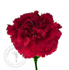 wholesale carnations wholesale burgundy carnations boxes of 50 200 stems free