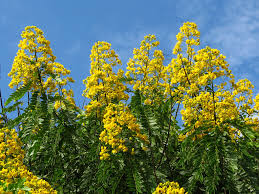 native plants of brazil yellow flowering trees a gallery on flickr