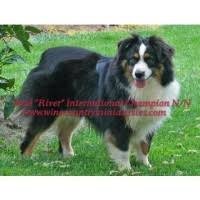 australian shepherd in california miniature australian shepherd aussie studs in california