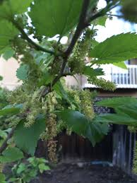 mail order fruit help identify what of mulberry tree i got from mail