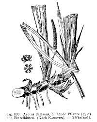 Blackfoot Indian Flag Kelich Andreas Drogen Enzyklopaedie Der Drogen Botanischer Teil