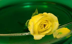 hd images of flowers free stock photos yellow water hd flower wallpapers rose