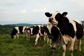 grilling season in the u s cattle and hogs seasonal meats