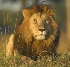 lions for sale illinois readies to ban the sale of lion meat