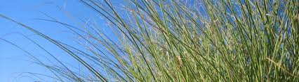 ornamental grasses for home and garden silver garden centers