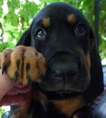 australian shepherd rottweiler mix puppies for sale bloodhound rottweiler mix puppies youtube