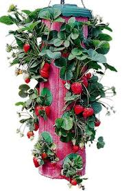 new red upside down strawberry planter vertical garden wall