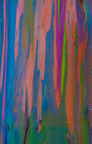 rainbow eucalyptus megan matsumoto photography
