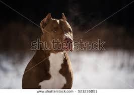 american pitbull terrier vs amstaff pit bull stock images royalty free images u0026 vectors shutterstock