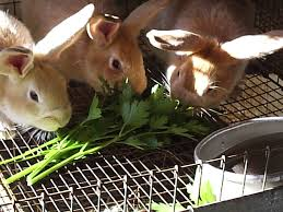 naturally feeding rabbits rise and shine rabbitry