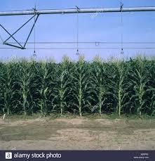 irrigated corn corn irrigation usa stock photos corn irrigation usa stock images